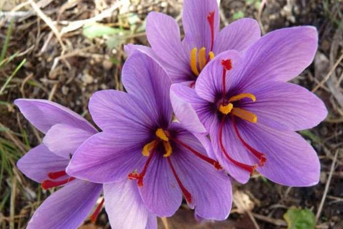 Crocus sativus - açafrão