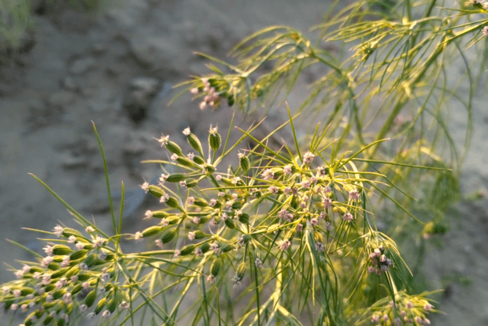 planta do cominho