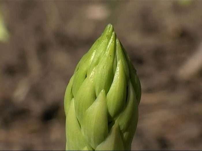 botao do aspargo