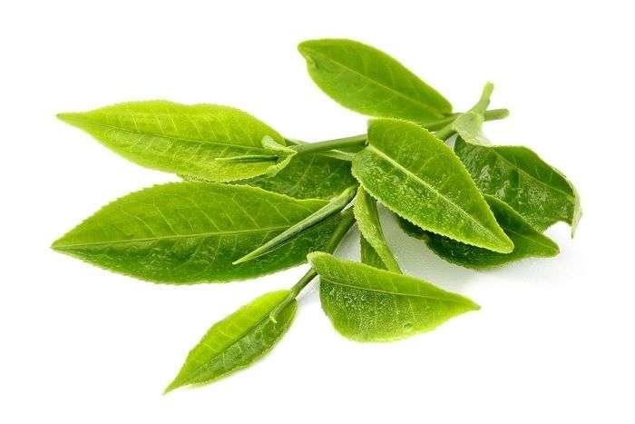 Folhas de chá da espécie camellia sinensis