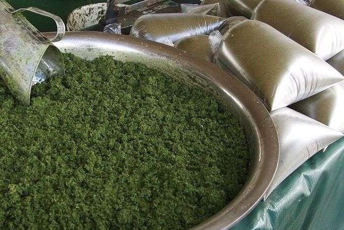 Maniva é a folha da mandioca triturada