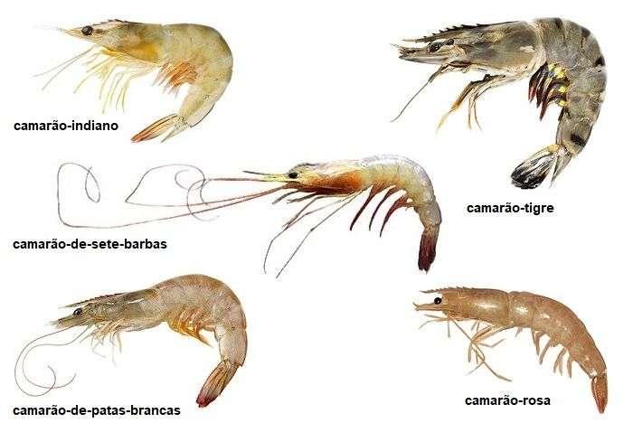 tipos de camarão marinho