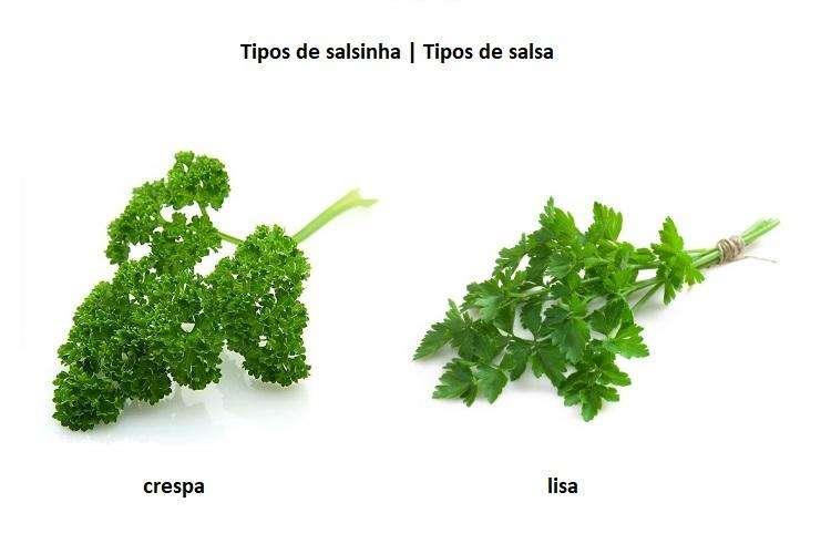 tipos de salsinha ou salsa lisa e crespa