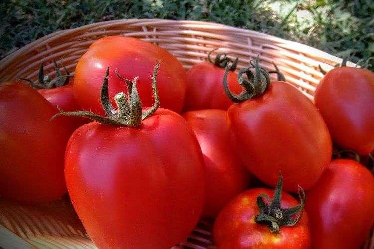 tomate re umberto
